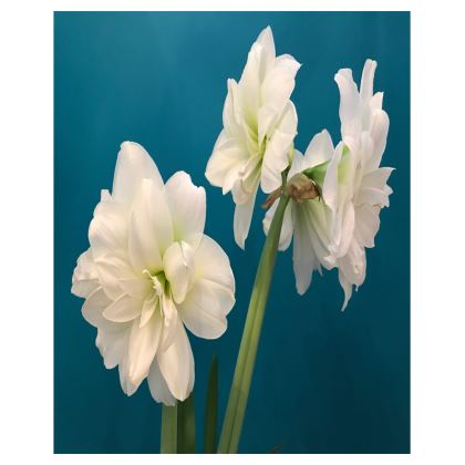 Trays - Double White Amaryllis