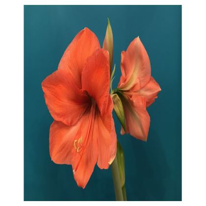 Trays - Melon Amaryllis