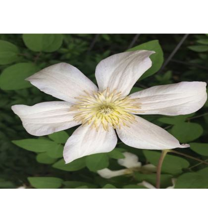 Trays - Stunning White Clematis