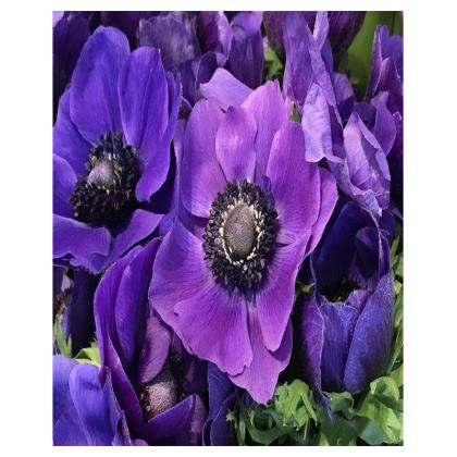 Trays - Velvet Purple Anemones