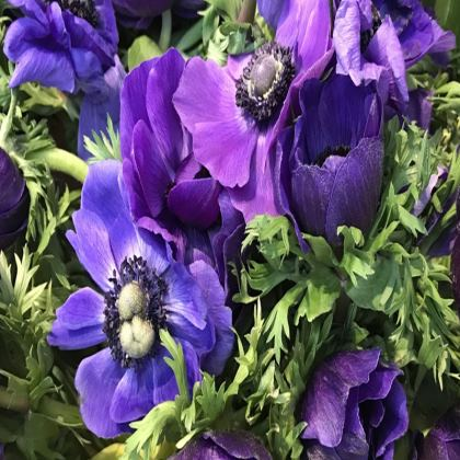 Trays - Purple Anemones