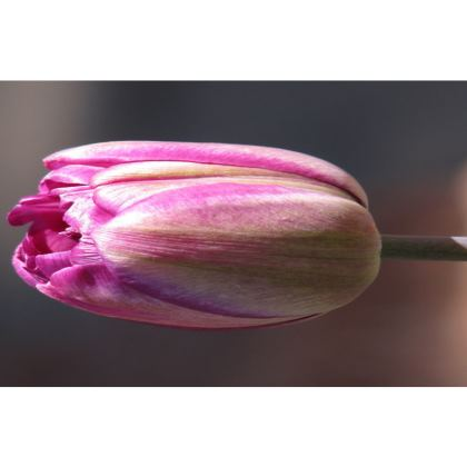 Trays - First Tulip