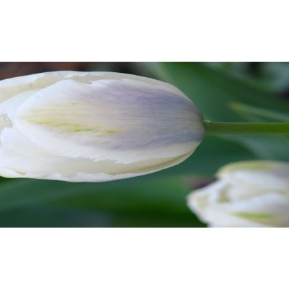 Trays - Tulip Blue Blush