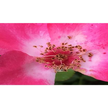 Trays - Single Pink Rose