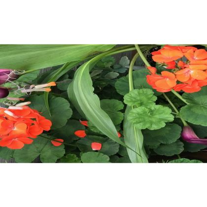 Trays - Orange Geranium, Purple Callas