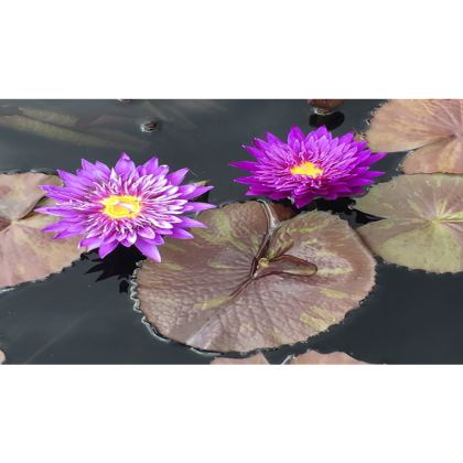 Trays - Neon Waterlilies