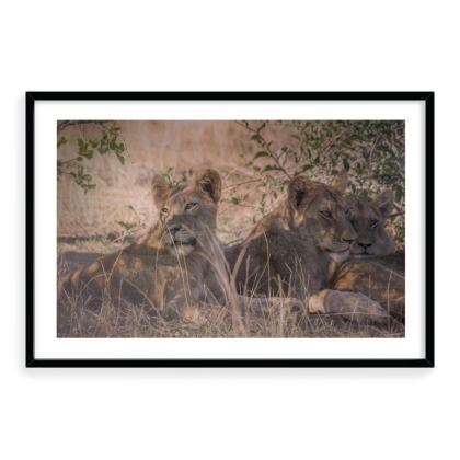 Framed Art Prints - Lion cubs under acacia