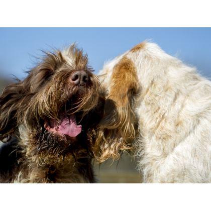 Italian Spinone Handbag