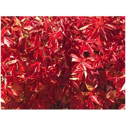 Leather Virginia Creeper Bag