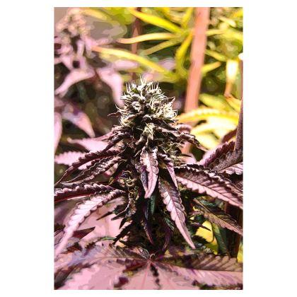 Towels - Purple Haze