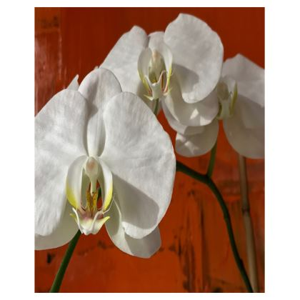 Trays - Moth Orchid