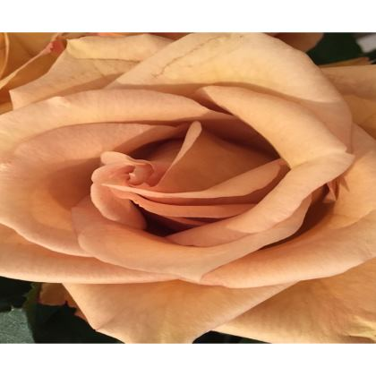 Trays - Butterscotch Rose