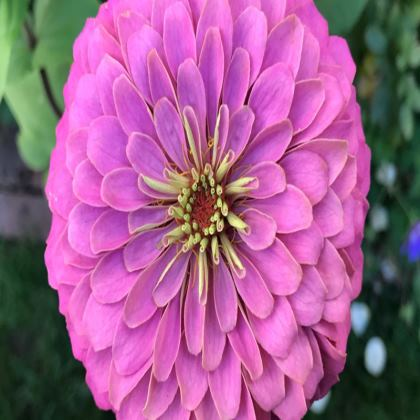 Trays - Zinnia 'Benary Giant'