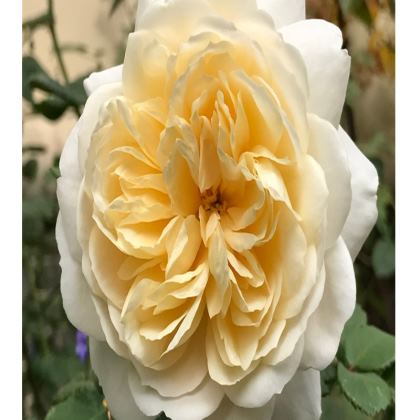 Trays - 'Crocus' Rose