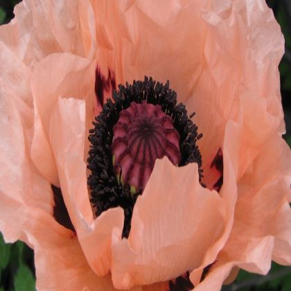 Trays - Salmon Oriental Poppy