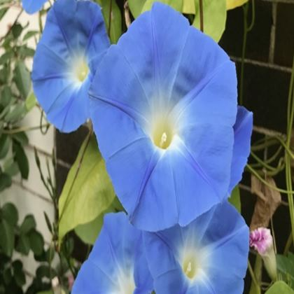 Trays - Morning Glories
