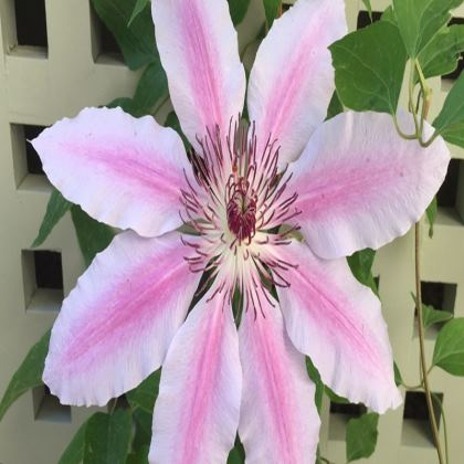 Trays - Clematis 'Nelly Moser'