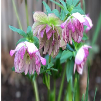 Trays - Double Hellebore