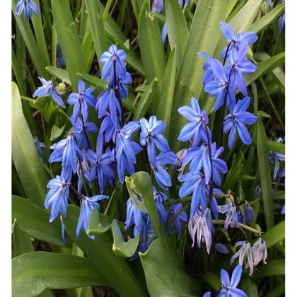 Trays - Scilla 'Spring Beauty'