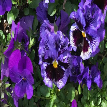 Trays - Jolly Pansies
