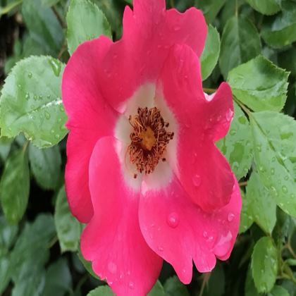 Trays - Shrub Rose
