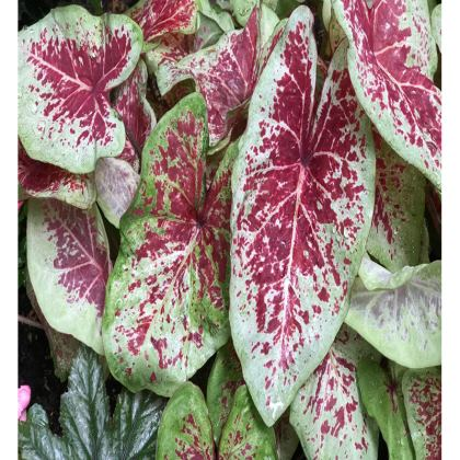 Trays - Caladiums