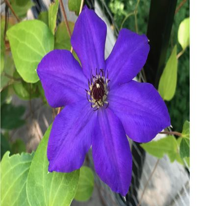 Trays - Deep Blue Clematis