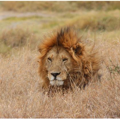 T shirt Le roi lion
