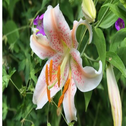 Trays - Oriental Lily 'Salmon Star'