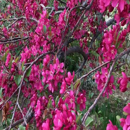 Trays - Dark Pink Crabapple