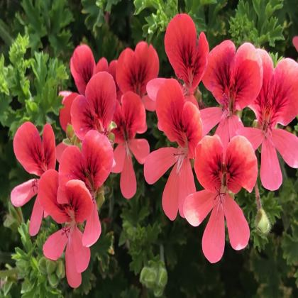 Trays - Coral Pelargonium