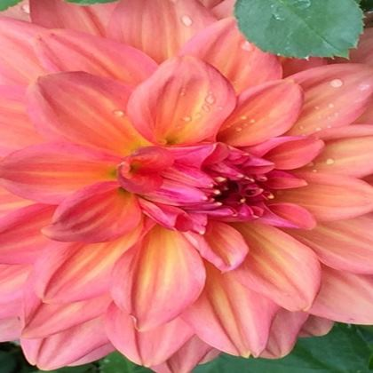 Trays - Peachy Pink Dahlia