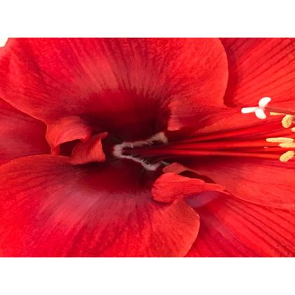 Trays - Rich Red Amaryllis