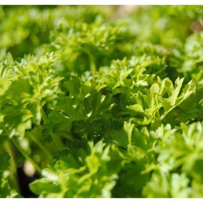 Kimono Jacket - Coriander