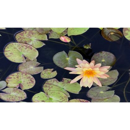 Trays - Pale Apricot Water Lily