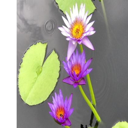 Trays - Lavender Waterlilies