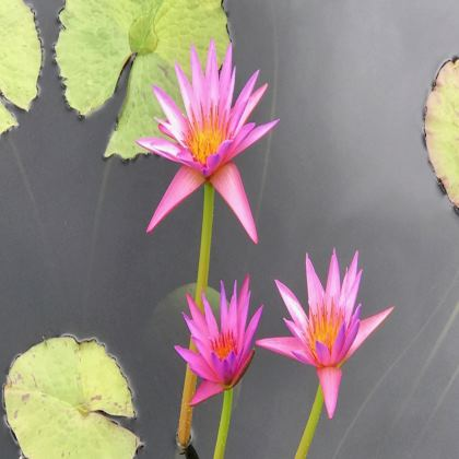 Trays - Pink Waterlilies
