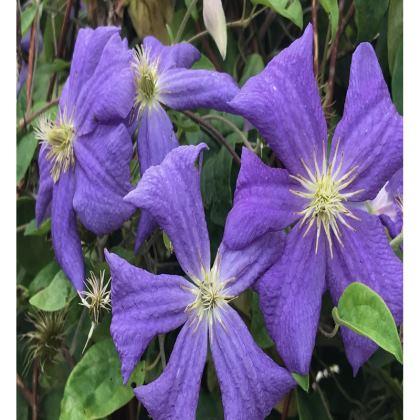 Trays - Blue Pinwheels Clematis