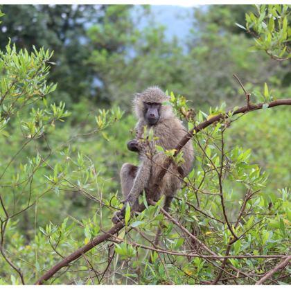 T-Shirt Sage est le singe