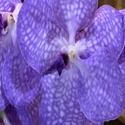 Trays - Blue Vanda Orchid