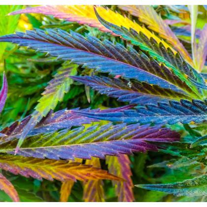 Colorful Cannabis hoodie