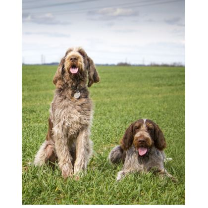 Italian Spinone Double Deckchair