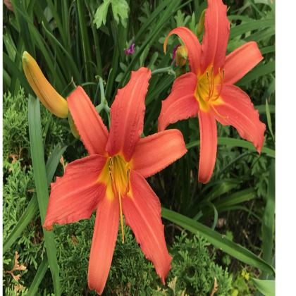 Trays - Orange Daylilies