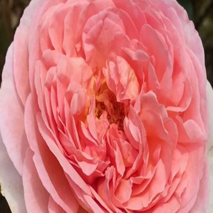 Trays - Peach Pink Rose
