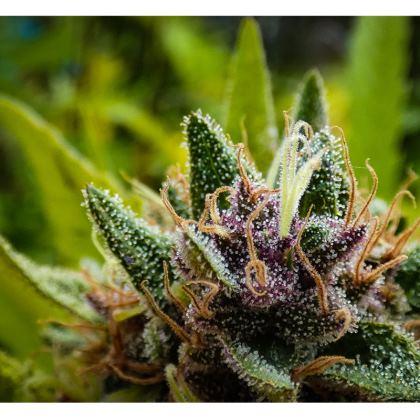 CannaLotus Tshirt