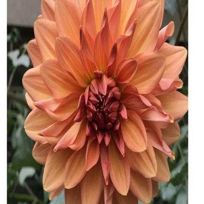 Trays - Bronze Dahlia