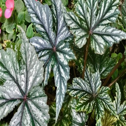 Trays - Begonia Leaves