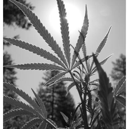 Shadows of Cannabis