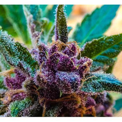 """""""Royalties"""" Royal Purps T-shirt"""