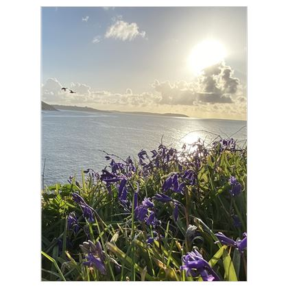 Bluebells over Falmouth Bay